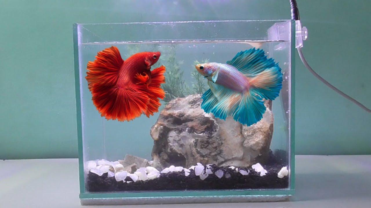 Menghias Aquarium Ikan Cupang Minimalis Sederhana Youtube