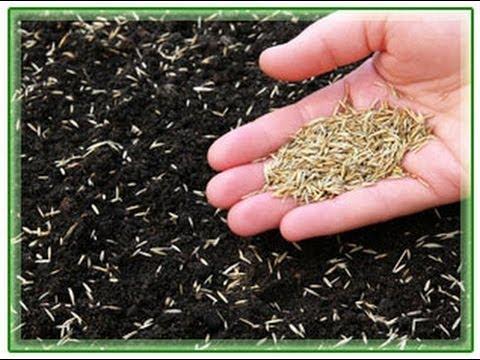 Газонная трава которую не надо косить фото