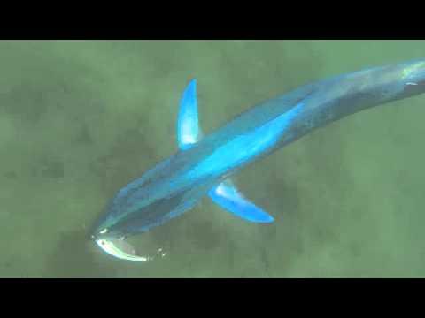 Dorado caught in knysna lagoon