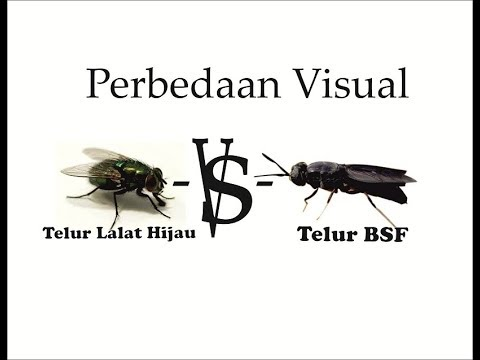 Perbedaan Visual Telur BsF dan Telur Lalat Hijau