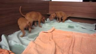 Щенки фараоновой собаки 2013 год. Свободны 3 мальчика - черный, без ленточки и голубая ленточка.