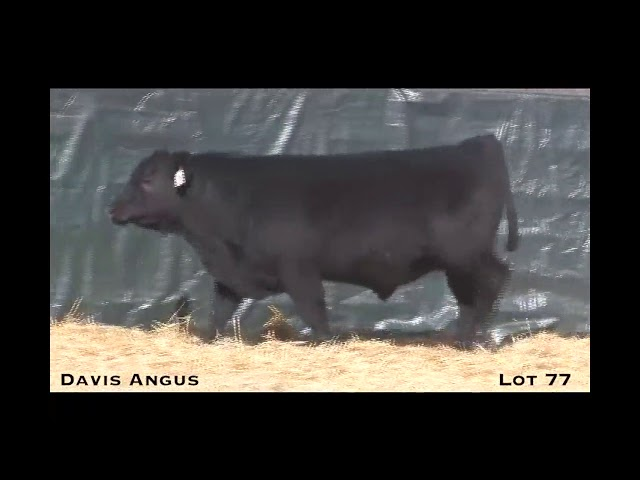 Davis Angus Lot 77