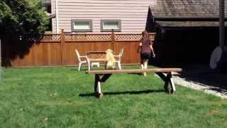 Talented Golden Retriever Jumping