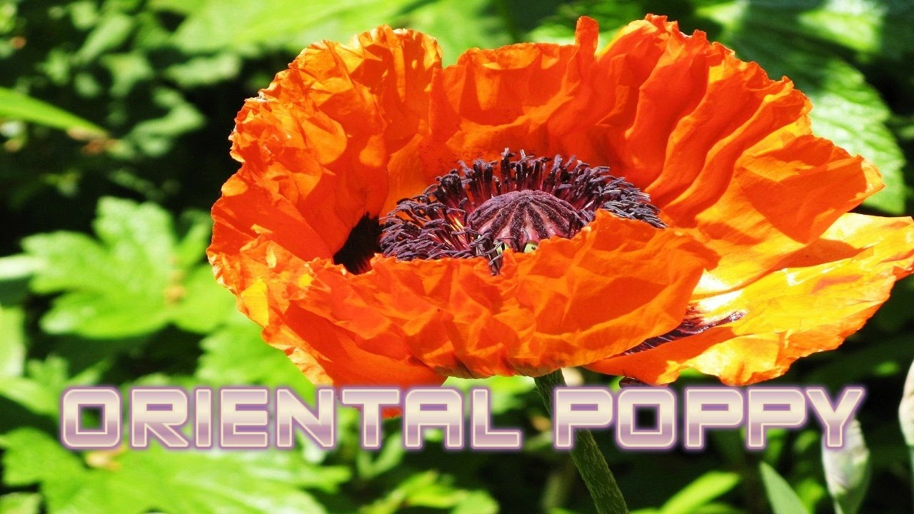 Top 10 Colorful Oriental Poppy Flower Ever You Seen Amazing