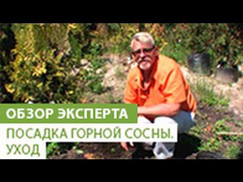 Энциклопедия растений: Сосна