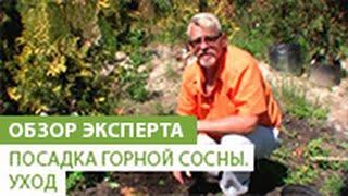 Посадка горной сосны. Уход за горной сосной(В этом видео наш эксперт расскажет Вам как правильно посадить горную сосну, и как за ней ухаживать. Если..., 2014-06-23T08:48:55.000Z)