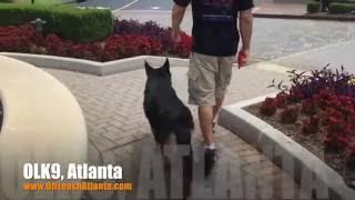 "2.5 Year Old German Shepherd | 2 Week Board And Train ""thor"" | Dog Training Atlanta"