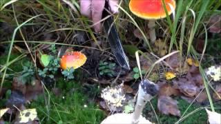 несъедобные грибы - мухомор красный