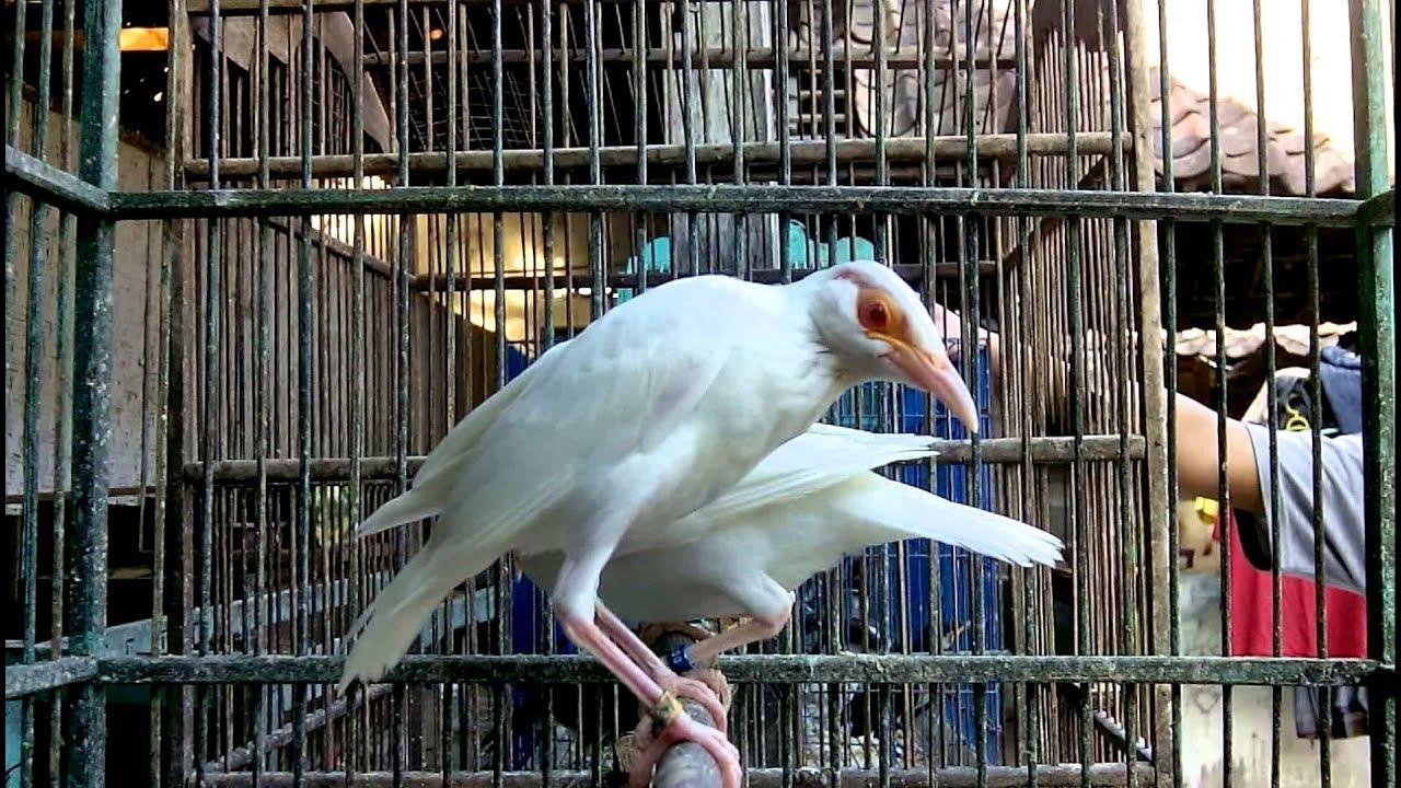 Sepasang Albino Jalak Suren 56