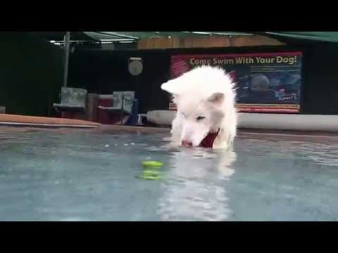 12 year old Siberian Husky P.Y.T dives her head underwater for her dog toy ball