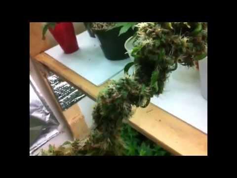Indoor Home Weed Grow Room. Juicing Cannabis Diary.