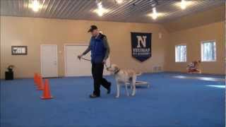 Higgins (Labrador Retriever) Boot Camp Dog Training Video