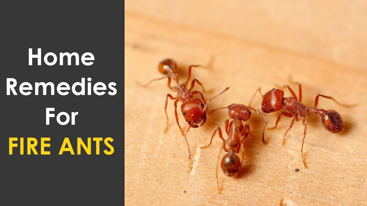 Home Remedies To Get Rid Of Fire Ants How To Kill Fire