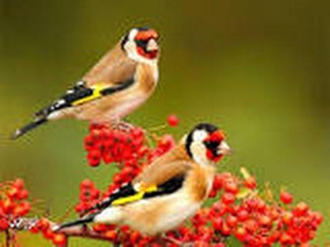 تفسير رؤية عصافير او طيور في المنام Youtube