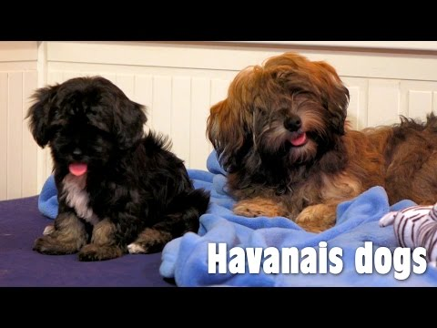 Havanese dogs are playing in the bed