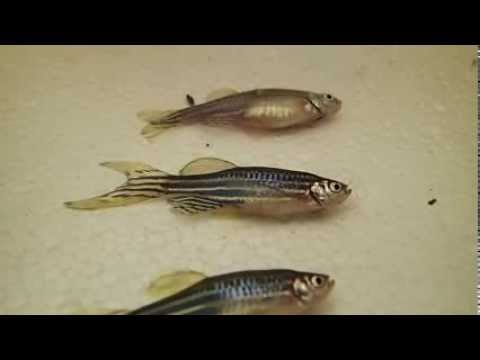Recognising The Stages Of Anaesthesia And Anaesthetic Depth In Zebrafish.