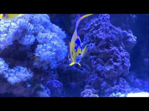 Queen Angelfish (Holocanthus Ciliaris) :: AquariumDomain.com