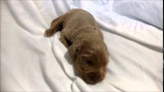 ワイマラナー専門店 http://aidol-doggy.com/wai/ ブリーダーの子犬販売...