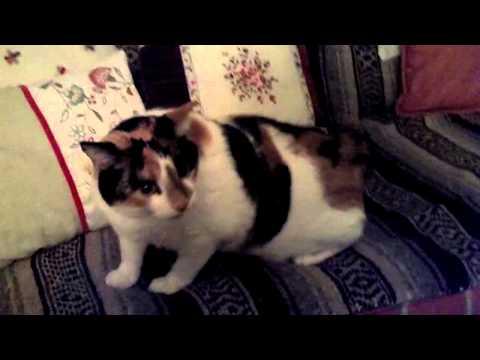 Callie has Hyperesthesia / Twitch Syndrome