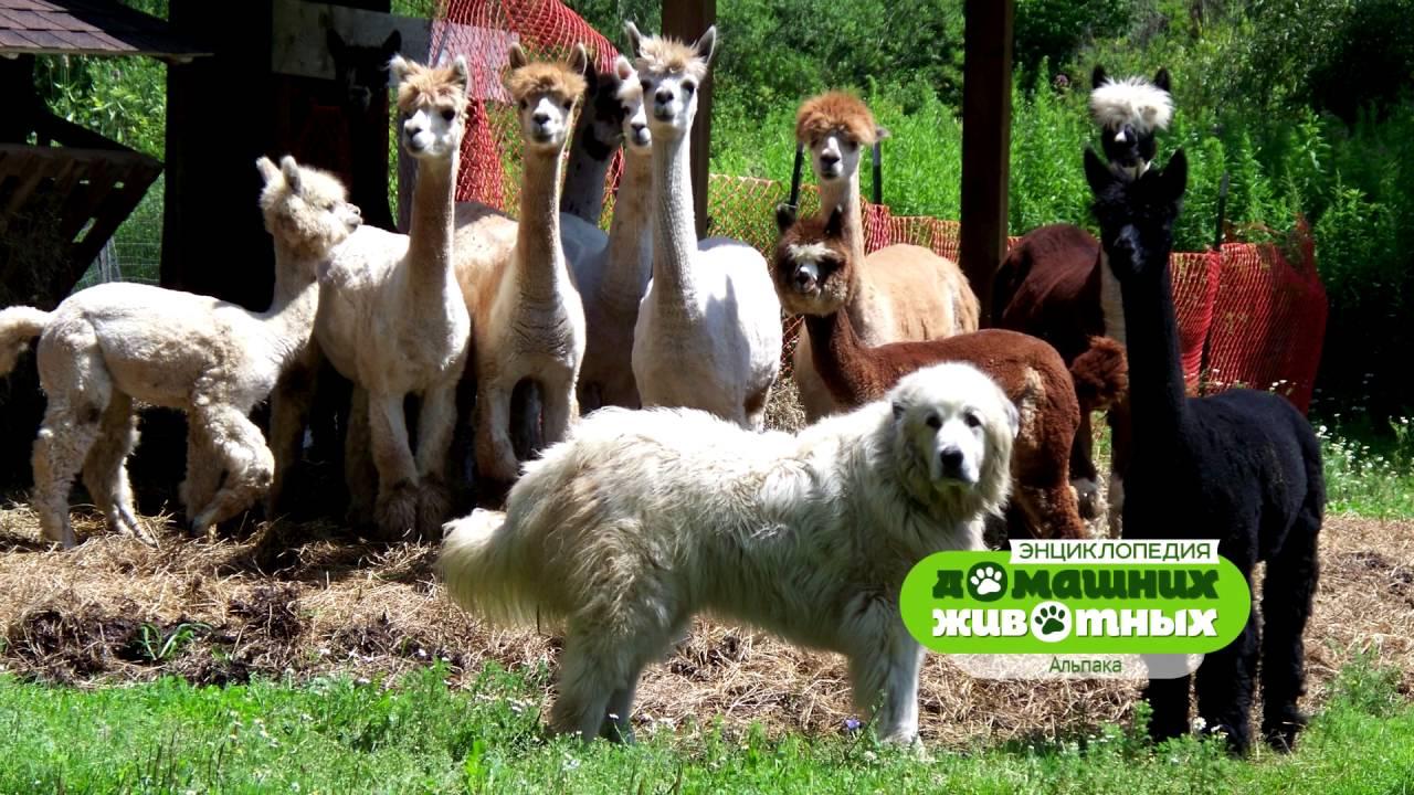 Энциклопедия домашних животных №8 - Альпака