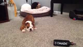 Adorable English Bulldog Has Issues With Canada