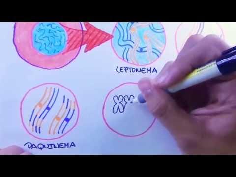 Mitosis y Meiosis - La Meiosis o reproducción celular sexual