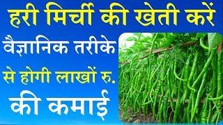 हरी मिर्च की खेती करें वैज्ञानिक तरीके से होगी लाखों रु. की कमाई || Green Chilli Farming Technique