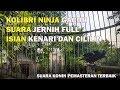Kolibri Ninja Gacor Suara Jernih Full Isian Kenari Dan Cililin  Mp3 - Mp4 Download