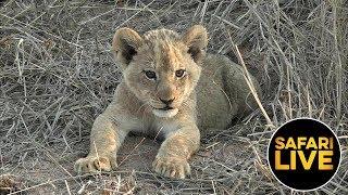 safariLIVE - Sunrise Safari - September 13, 2019