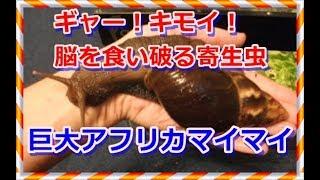キャー!キモイ!脳を食い破る寄生虫と巨大アフリカマイマイ・・スカッとイベント 広東住血線虫 検索動画 22