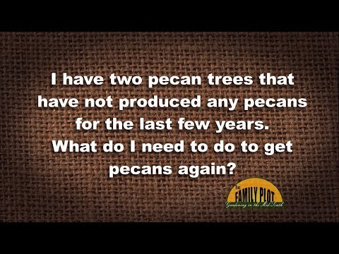 Q&A – My two pecan trees have not produced any pecans lately. What do I need to do?