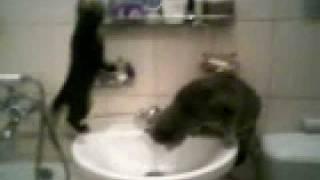 Кот Макс учит дочь пить воду из крана