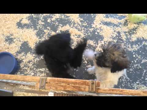 Miniature Cockapoo Puppy