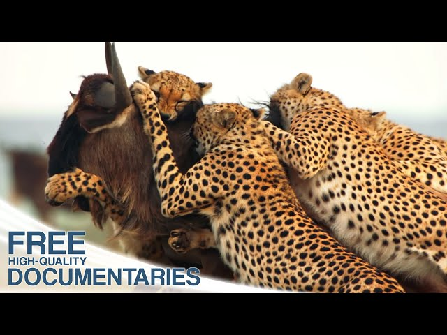 Cheetahs - The world' s fastest hunters among the land animals