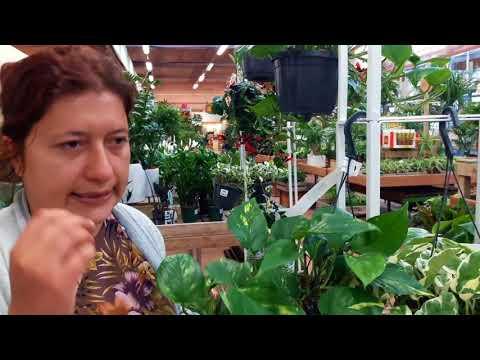 Consigli utili su come coltivare e moltiplicare il potos o pothos