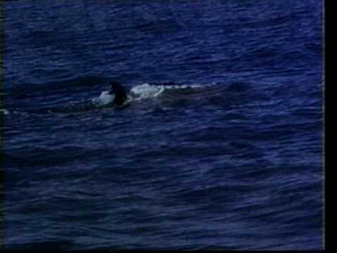 Marvels Of Cetaceans Part 1 - Five Species of Baleen Whales