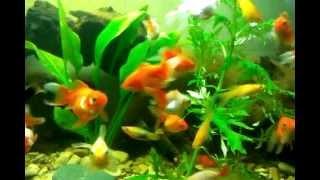 """мальки от золотых рыбок """"красных шапочек"""" риукина и оранды"""