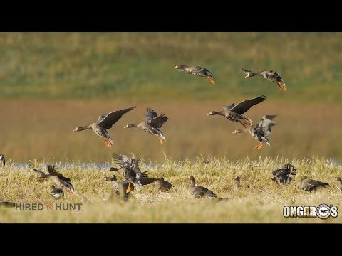 Hired to Hunt Season 3 #5: Redemption Day.  Duck Hunting and Goose Hunting.  Limit hunts in Alberta