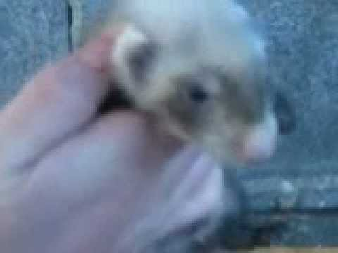ferret kits at 8 weeks old