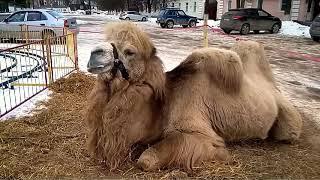 Просто верблюд!