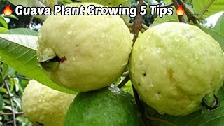 Guava Farm Growing Top 5 Trip.Get Large Profid in Guava Farm.
