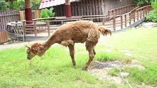 Funny animal Alpaca pees behind humans Zoo travel