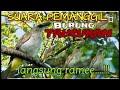 Suara Pikat Burung Trucukan Langsung Ramee  Mp3 - Mp4 Download