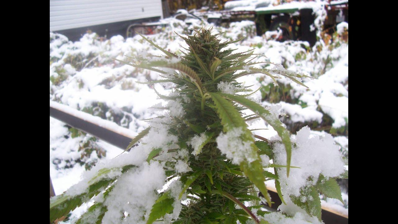 Конопля под снегом плесень в горшке с коноплей