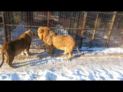 Lions in the cold Harbin winter,  Siberian Tiger Park, Harbin, Heilongjiang Province, China