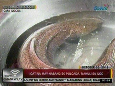 24Oras: Igat na may habang 50 pulgada, nahuli sa ilog sa Sto Domingo, Ilocos Sur