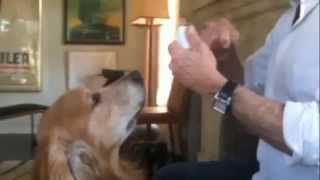 Golden Retriever Funny Dog Having His Teeth Flossed - Jack Golden Retriever
