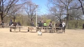 Toronto Doberman Pincher Meetup At High Park, Toronto