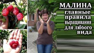 Как выращивать малину.Главные правила для любого сорта и вида