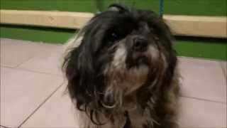 Before And After Shih Tzu Grooming : Stray Tripod Very Matted Shih Tzu | Adopt A Dog